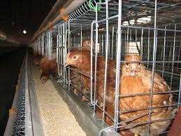 قیمت تولید قفس مرغ خانگی