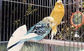 قفس مرغ عشق