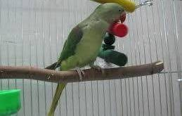 قفس طوطی سبز