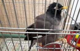 قفس مرغ مینا